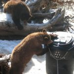 Haines Borough convenes task force to deal with roaming, dumpster-flipping bears