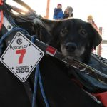 Highlights from Kuskokwim 300: Kaiser wins fifth title, and a surprise musher engagement