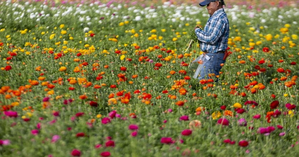 Coronavirus hit California's cut-flower industry at the worst time